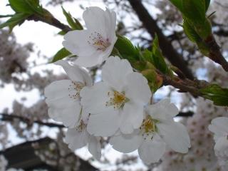 Sakura_20080425_3