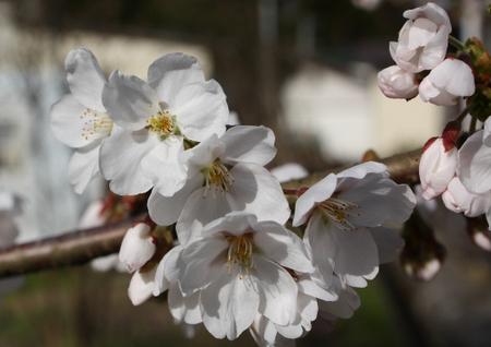 Sakura_20090418_1