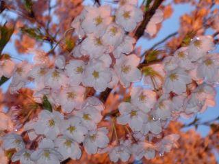 Sakura060501_6
