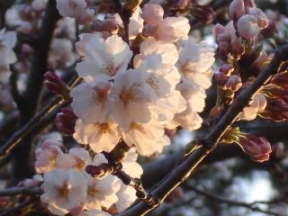 Sakura20070420_1m